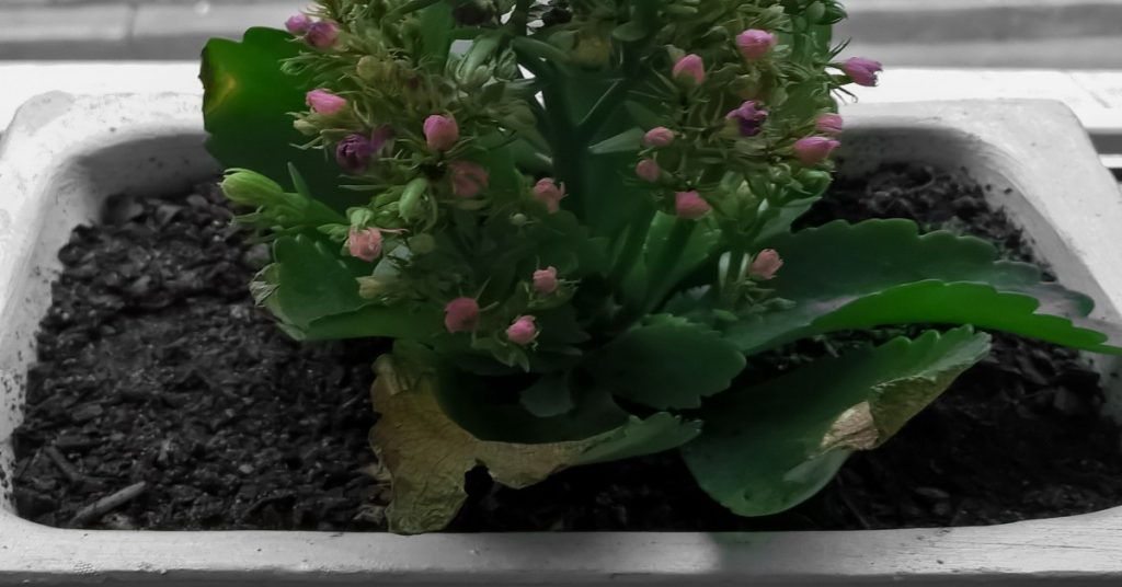 flowering plant in container
