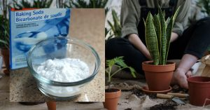 baking soda and plants