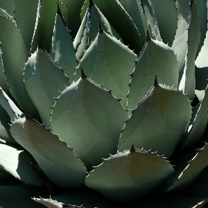 BeFunky-agave-iGarden101