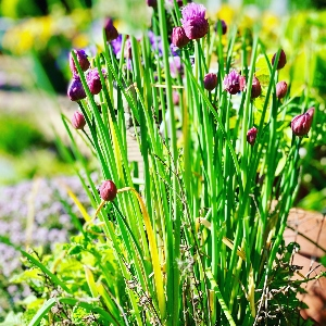 BeFunky-chives-iGarden101