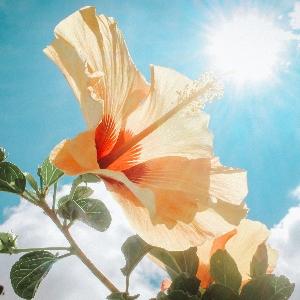 BeFunky-hibiscus-iGarden101
