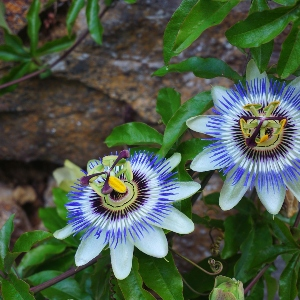 BeFunky-passionflower-iGarden101