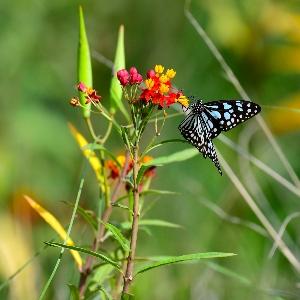 BeFunky-tropical milkweed-iGarden101