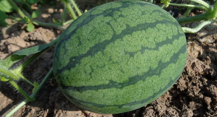 growing watermelons in containers