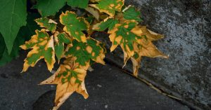 heat-damaged plants